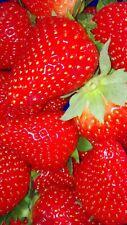 Erdbeeren, Sorte Ostara , 10 Pflanzen