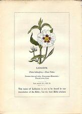 Stampa antica PIANTE DELLA BIBBIA CISTO LADANIFERO 1842 Old antique print
