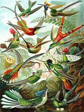 COLOUR PLATE ERNST HAECKEL KUNSTFORMEN NATUR HUMMINGBIRDS PRINT POSTER BB2040A