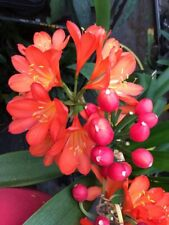 Clivia miniata Very Dark Japanese orange/red x 2 Seed. National Collection.