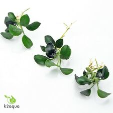 Anubias nana petite X 3-Mini Nano Enano Para Madera En Vivo Acuario Plantas Acuáticas