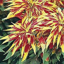100 Amaranthus Tricolor Perfecta Seeds