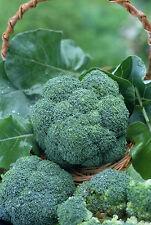 12000 Seeds of BROCCOLI Winter Vegetable garden Vegetables Plants