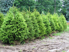 500 Norway Spruce Tree Seeds, Free Shipping, Christmas Tree Seeds