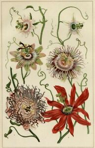 PASSIONFLOWERS: Authentic 1902 (Dated) Botanical Stone Chromolithograph