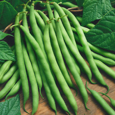 160 Provider Green Bush Bean Seeds - Everwilde Farms Mylar Seed Packet