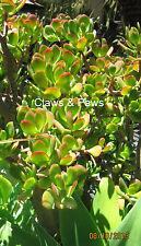 Feng Shui Money Plant / Crassula Ovata Succulent Jade plant cutting