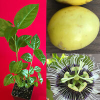 Yellow Passion Fruit Passiflora Edulis Potted Starter PLANT Tropical Vine