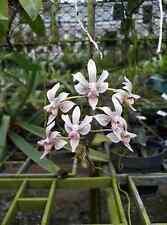 KINGIDIUM MINUS X PHALAENOPSIS LINDENII Orchid plant miniature THAILAND CITES