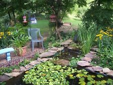 20-Green Water Celery,Koi Water Pond Plant,100% Organic Grown,Dep Ag Pa,# Ooo5Dl