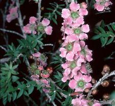 Leptospermum squarrosum or Peach Blossom Tree 20 seeds Free Ship