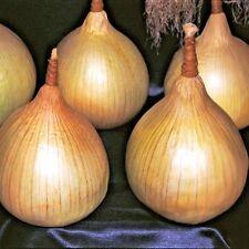 Vegetable Onion Ailsa Craig Appx 500 seeds