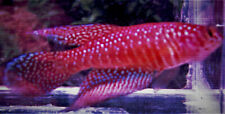 Nem.papilliferus Imoa Killifish (killiefish) eggs