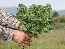 500 Dwarf Siberian Kale Seeds Heirloom 2017 ( $3.00 Max Shipping! )