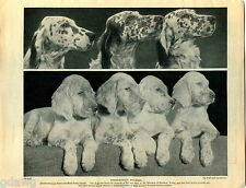 1930 Book Plate Print English Setter A W Rhodes Baildon Barra Withinlee Growse