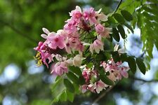 PINK SHOWER TREE, 20 + FRESH SEEDS, BEAUTIFUL FLOWERING SHADE TREE