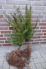 Eiben 50-80cm 40st. für 10m Hecke Taxus baccata Eibe Heckenpflanzen