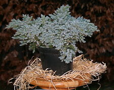Wacholder Zypresse Juniperus squam. 'Blue Star'  20 - 25 cm im Container