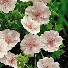 GERANIUM SANGUINEUM var.STRIATUM, CRANESBILL 10 special seeds