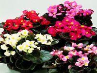50 Pelleted Begonia Seeds Chocolates Sampler Mix BUY FLOWER SEEDS