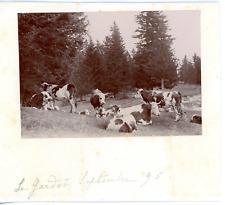 France, Vaches au pré, Le Gardot Vintage print.  Tirage citrate  9x12  Cir