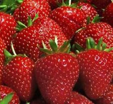 Ozark Beauty Everbearer Strawberry Plants - 25 root divisions