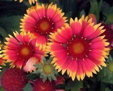 30+ GAILLARDIA BIJOU FLOWER SEEDS / RARELY OFFERED  PERENNIAL