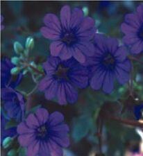 Flower - Geranium Pyrenaicum - Bill Wallis - 10 Seeds