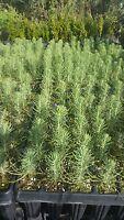 Pinus Pinea Angebot 40 Pflanzen in Alveole Pino Pet Römer Regenschirm Pinolo