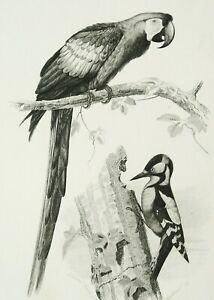 1849 Antique lithograph of BIRDS: LORY, WOODPECKER. ORNITHOLOGY. 171 years old.