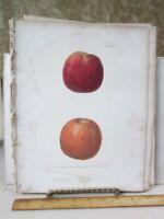 Vintage Print,EARLY HARVEST.Fruit Print,Natural History,NY,1851
