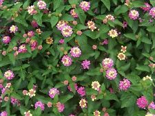 Lantana Camara  vaso 17 (OFFERTA 4 piante)