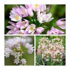 Allium roseum X 50 ampoules. pâle au Rose riche. Superbe au printemps.