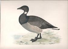 1855 Bird original print Brent Goose Beverley R. Morris