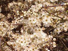 5 Blackthorn Hedging Plants 3-4ft, Prunus Spinosa,Edible Sloe Berries,Sloe Gin