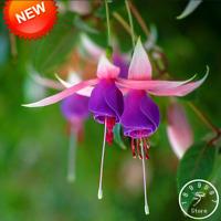 Pink Purple Bell Flowers Fuchsia Bonsai Garden Plants Hanging 50 PCS Seeds NEW S