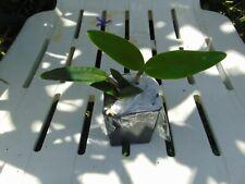 """New listing Wow Cattleya intermedia var. coerulea 2"""" pot Species"""