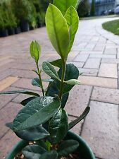 Fruit Tree Feijoa sellowiana Guava  Pineapple  150mm pots aprox 30cm hgt $6-ea