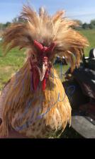 10 Chicken Hatching Eggs Rare Breedsbarnyard Mix Possible Gold Laced Polish