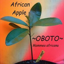 ~Oboto~ Mammea Africana Rare African Apple Fruit Tree Live Potted 8-12+in Plant
