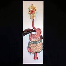 Anatomical Human Digestive System Model - Medical Skeleton Anatomy