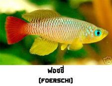 The Tropical Fish Killifish Nothobranchius Foerschi 30 Eggs Easy Hatch