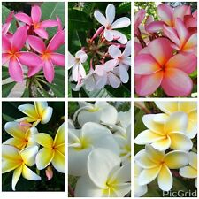 """(6) Cutting Plumeria Collection 12""""-18"""" with 1 tip + 8 free seeds"""