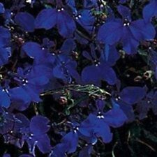 50+ Lobelia Regatta Midnight Blue Flower Seeds / Annual