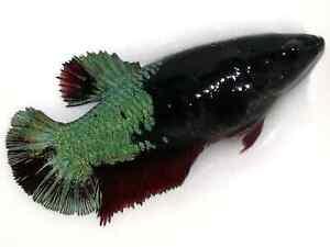 (LimitedOffer!) Premium Live Betta Fish l Female Green Devil Plakat 7255