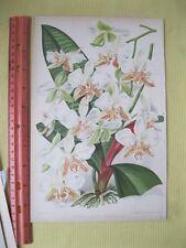 Vintage,Print,PHALAENOPSIS STUARTIANA,Severlyns Bruseels