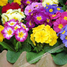 Europe Primula Acaulis Seeds, Primrose Rare Bonsai Flower Seeds - 100 Pcs