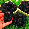 Jumbo Thornless Blackberry Garden Bonsai Sweet Healthy Fruit NEW Y 200 PCS Seeds