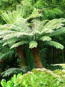 Dicksonia antarctica Baumfarn Taschenfarn Urzeitfarn 30-40cm Zimmerpflanze