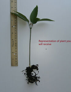 """One (1) Live 6"""" Lychee Plant Seedling Rooted Lichi Litchi"""